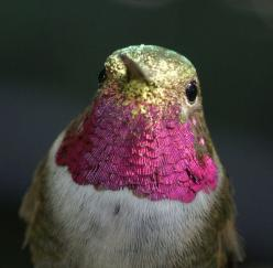 Hummingbird gorget: Humming Birds, Animals, Nature, Color, Beautiful Birds, Hummingbirds
