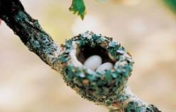 Hummingbird nests can be very hard to find, since they're often about the size of a ping pong ball. Learn what to look for and where to look on the Birds & Blooms website.: Hummingbird Nests, Humming Birds, Hummingbirds Nest, Birds Nests Eggs, Gar