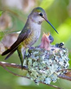 Hummingbird with Nest...I found a Hummingbird's Nest just by mistake. It was so tiny and precious. The egg is the size of a very small pebble. These birds are such Beautiful Little God's Babies.: Baby Hummingbirds, Nest I, Humming-Bird, Beautiful