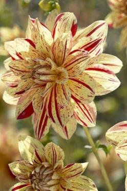 Hy Pimento Dahlia: Dahlias, Flowers Plants, Beautiful Flowers, Flower Power, Bloom, Flower