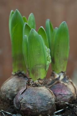hyacinth bulbs -- the scent of hyacinths is a precious christmas scent to me: Spring Equinox, Spring Flowers, Spring Hyacinth, Spring Bulbs, Hyacinth Bulbs, Front Window, Garden, Flowers Portlandspringtime