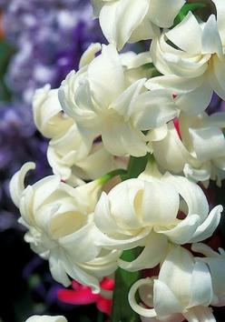 Hyacinth: Flowers Gardens, White Flowers, Flowers Plants, Beautiful Flowers, Gardening, Flowers, White Hyacinth, Beautiful Gardens Flowers, Flower