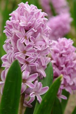 Hyacinth - Fragrant  flowers of the garden This is one of my FAVORITE flowers :) The other... Is an Icelandic poppy <3: Flowers Gardens, Spring Flowers, Plants Flowers, Flowering Plants, Flowers Plants, Animals Plants Gardening, Beautiful Flowers, Hyac