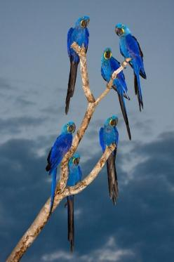 Hyacinth macaws  #parrots: Animals, Beautiful Blue, Blue Parrots, Beautiful Birds, Blue Birds, Photo