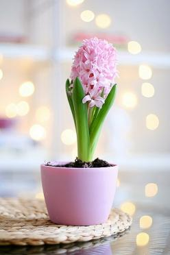 Hyacinth... Smell reminds me of Grandma's backyard :): Spring Flowers, Green, Plants, Beautiful Flowers, Flower Power, Bloom, Flowers, Garden, Pink Hyacinth