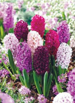 Hyacinths, can you smell them? The sweet smell of spring !: Spring Flower, Plants, Gardens, Beautiful Flowers, Gardening, Pretty Flowers, Favorite Flower