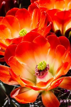 I'd love to have a plant that will keep growing, and not flowers that will die after a few days.: Cactus Flowers, Nature, Flowers Plant, Color, Beautiful Flowers, Flowers, Garden, Hedgehogs