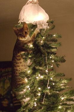 I'm just adjusting this tree topper for you...: Cats, Holiday, Kitty Cat, Crazy Cat, Christmas Cat, Christmas Trees, Animal