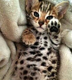 I'm not a cat person, in fact I'm allergic, but I would definitely own a cat like this in a heartbeat!: Bengal Cats Facts, High Five, Cat Paws, Animals, Bengel Kitten, Bengal Kitty, Bengal Kittens, Baby Bengal