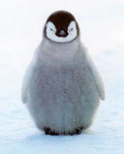 I'm not fat, I'm fluffy!: Babies, Happy Feet, Pet, Adorable, Babypenguin, Things, Baby Animals, Baby Penguins