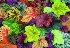 "I've made room for these alongside the Hostas - even across a half acre the color combinations stand out. Heucheras, the ""new hostas"" for shady spots, more colorful: Shade Plant, Garden Outdoor, Shade Garden, Shady Spot, Gardening Outdoor, Flo"