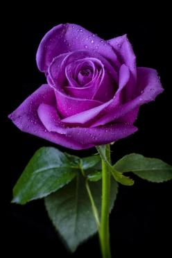 I've never found a rose in our area that is this deep a purple. I'd love to have it in the garden.: Color, Beautiful Flowers, Pretty Flowers, Pink, Flowers, Purple Roses, Garden, Beautiful Rose