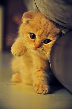 i am at your mercy, precious scottish fold kitteh: Cats, Animals, Kitty Cat, Sweet, So Cute, Pet, Adorable, Kittens, Baby