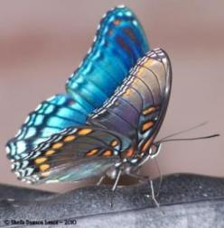 I ❤ butterflies . . . Red-spotted purple butterfly- Limenitis arthemis 'Astyanax': Beautiful Butterflies, Butterfly, Color, Butterflies