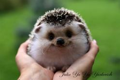 i can't even handle how cute this is: Adorable Animals, So Cute, Pet, Happy Hedgehog, Box, Baby Hedgehog, Baby Animals, Smile, Hedgehogs