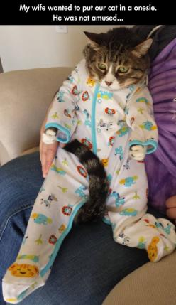 I Can Feel Him Asking Himself How He Ended Up Like This // funny pictures - funny photos - funny images - funny pics - funny quotes - #lol #humor #funnypictures: Animals, Onesie, Funny Pictures, Funny Cats, Crazy Cat, Funny Animal, Kitty, Cat Lady, Wife W
