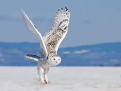 *I do not own this* Snowy Owl in Flight by Richard Dumoulin    www.pxleyes.com/blog/2011/12/these-50-photos-will-blow-you-away/: Animals, Nature, Beautiful, Snow Owl, Birds, White Owl, Snowy Owl, Photo, Owls