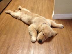 i had a long day   ...........click here to find out more     http://googydog.com: Animals, Dogs, Golden Retrievers, Pet, Funny, Puppy, Friend