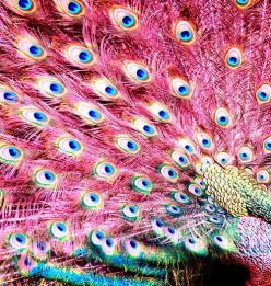I have found that among its other benefits, giving liberates the soul of the giver.  Maya Angelou: Peacock Feathers, Animals, Peacocks, Pink Peacock, Colors, Beautiful, Pinkpeacock, Pretty