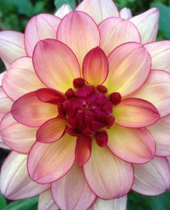 I have never grown dahilas, but I'd try to have this in my garden ✯ Dahlia 'Rawhide': Beautiful Gorgeous, Dahlia Flowers, Dahlias, Pretty Flowers, Beautiful Flowers, Dahlia Rawhide, Flowers Garden, Gorgeous Pretty