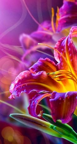 I keep seeing this color combination... I love it! Purple fading to orange-yellow...: Purple, Beautiful Color, Beautiful Flowers, Bloom, Day Lilies, Flowers, Garden, Photography, Flower
