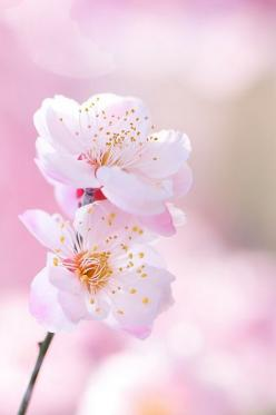 I like this post, enjoyed this one regards for putting up. http://www.jocurios.ro/jocuri-impuscaturi: Pink Flower, Spring Blossom, Pink Blossom, Beautiful Flowers, Cherries, Flowers, Garden, Cherry Blossoms