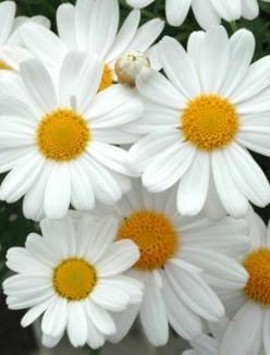 I love daisies! Such a cheerful flower!: Favorite Flowers, Daisy Flowers, Cheerful Flower, Daisies, Beautiful Flowers, Happy Photo, Garden, Friendliest Flower