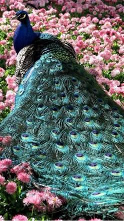 I love peacocks, they are amazing and beautiful creatures.  Their colours are so amazing: Peacocks, Animals, Pavo Real, Nature, Birds, Photo, Flower, Beautiful Peacock
