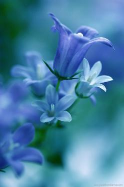 I usually don't pin pics of flowers but these are so beautiful. They remind me of the ocean.: Blue Flowers, Beautiful Blue, Color, Beautiful Flowers, Bluebell, Pretty Flower, Garden
