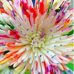 I want 100 of these flowers..: Colour, Amazing Flower, Rainbow Flowers, Colors, Beautiful Flowers, Pretty Flower, Flower