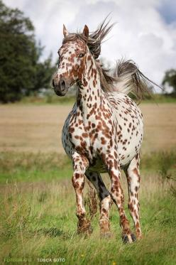 i want her!! owning an Appaloosa is my dream horse. cant wait for that one to come true: Beautiful Horses, Leopard Appaloosa, Animals, Equine, Freckle
