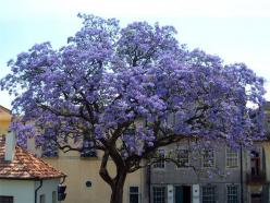 "I want my dream house surrounded by these trees!!! ♥    ""Royal Empress Tree...grows 15-18 ft./year. Empress Tree Facts Grows up to 10 feet or more in the very First Season! We have seen some grow as high as 20 feet.Explodes with rich lavender flowers"