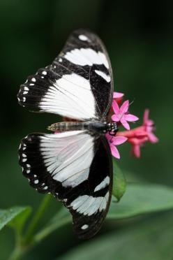 I want these black and white butterflies to be released at my funerL ...along with plain white ones: Beautiful Butterflies, Butterflies Dragonflies Moths, Flower