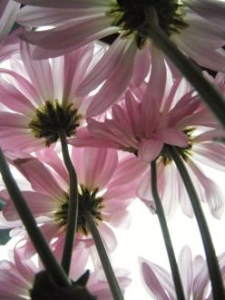 I want to become a photographer and capture beautiful things such as this!: Pink Flowers, God, Color, Daisies, Things, Garden, Angle