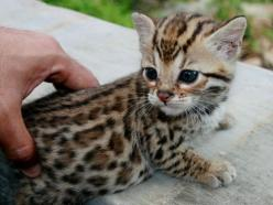 I will post as many cute cats as I like: Cats, Animals, So Cute, Bengal Cat, Pet, Kittens, Baby, Kitty