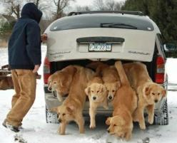 I wish I could have that many Goldens!!!: Animals, Dogs, Golden Retrievers, Pet, Funny, Puppy, Dr. Who, Friend