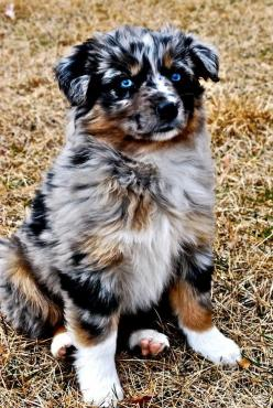 I wish my husband would give in and let me get one :(: Australian Shepard, Australian Shepherds, Aussies, Australian Shepherd Puppies, Puppy, Eye, Animal