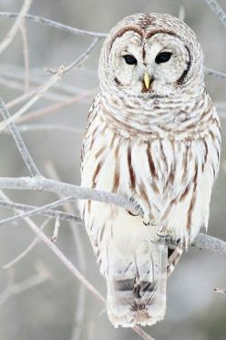 I would give anything to see this snowy owl for real!.: Animals, Barred Owl, White Owls, Snow Owl, Snowy Owl, Winter Owl, Birds, Beautiful Creatures