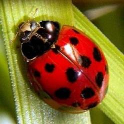 I would love a small tattoo of a lady bug some day. If I would only get the guts to go through with it!: Ladybirds Ladybugs, Ladybugs Galore, Ladybug, Insects, Lady Bugs, Garden, Animal