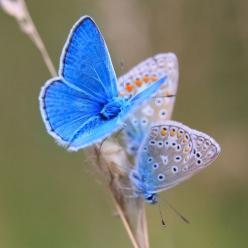 Icaris-blauwtjes (by look to see) Repinned by Pinterest Pin Queen ♚: Beautiful Butterflies, Adorable Animals, Blue, Fascinating Animals, Amazing Animals, Awesome Animals, Animals 2