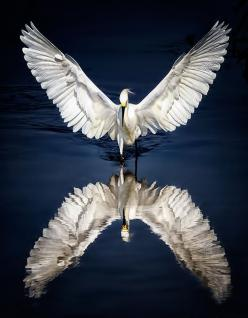 Icarus by Wendy of 500px. One of the most beautiful egret shots I've ever seen. (Pin-It button on her page): Photos, Animals, Animal Kingdom, Wings, Art, Reflections, Beautiful Birds, Snowy Egret