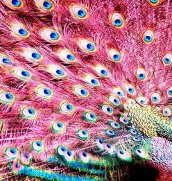If I had a fondness for peacocks, the pink ones would easily be my fav! : Peacock Feathers, Peacocks, Animals, Pink Peacock, Colors, Beautiful, Pinkpeacock, Pretty