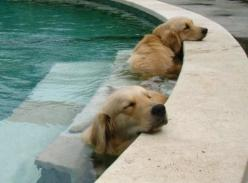 if I had a pool in my yard, this is what I'd have in it!!: Animals, Dogs, Sweet, Golden Retrievers, Pet, Puppy, Pools, Friend, Golden Retriever