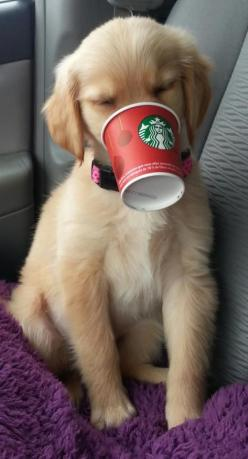 "If you ask for a ""puppuccino"" at Starbucks, they will give you a cup of whipped cream for your dog!: Doggie, Cup, Animals, Dogs, Pet, Puppy, Whipped Cream, Golden Retriever"