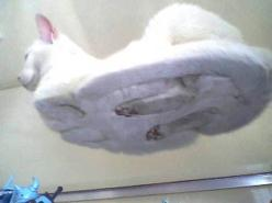 if you ever wanted to know what the underside of a cat looks like when its laying down... here you go: Cats, Animals, Hover Cat, Funny Stuff, Funnies, Hovercat, Glass Tables