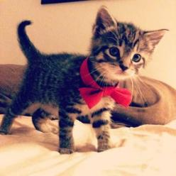If you would like to be my best friend forever, please give me this kitten for iggy to be best friends with.: Cats, Kitty Cat, Animals, Bow Ties, Bowties, Bows, Kittens