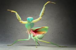 Igor Siwanowicz  When the praying mantis (Rhombodera basalis) feels threatened, she transforms herself into a dancing alien. This species, native to Malaysia, grows to be as much as 10 centimeters. When the mantis goes into her famous praying pose, she&#3