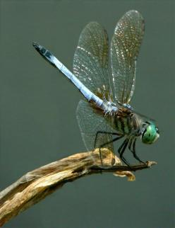 Image detail for -Blue Dragonfly suns itself above my garden pond.: Blue Dragonfly, Butterflies Dragonflies, Dragon Flies, Dragonflies Butterflies, Dragonfly Bugs, Garden Ponds, Drageon Fly S, Dragonfly Suns