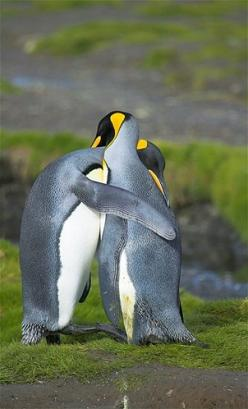 Image: Penguins (© Nature Picture Library/Rex Features): Penguin Love, King Penguins, Penguins Hugging, Animals, Penguin Hugs, Nature, Creature, Birds, Friend