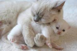 ~ in a perfect world … ~ - via: pictureperfectforyou - Imgend: Cats, Mothers Love, Animals, Kitty Cat, Sweet, Baby, Kittens